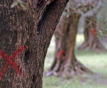 In the Puglia Region applied nanotechnology is employed in the fight against Xylella