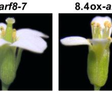 'Nuovo messaggero' di un gene regola la fertilità maschile delle piante